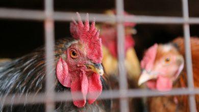 Photo of روسيا تعلن عن تسجيل أول حالة لإصابة البشر بإنفلونزا الطيور H5N8