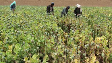 Photo of الخارجية الروسية : المبادرات الأمريكية لمكافحة المخدرات في أفغانستان فشلت